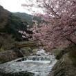 相知町・河津桜を観に行きました。