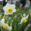 季節の花「水仙」