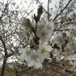 桜は3分咲きかなぁぁ~