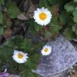 狂い咲きのツツジ
