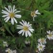 16日の散歩で見た花。(タカサゴユリ アベリア オトコエシ キンミズヒキ他)
