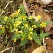 林縁の土手にヤクシソウの黄色い花