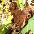 クロコノマチョウ 秋型 ♀