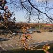 背割堤 桜の開花状況