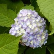 紫陽花ー1