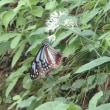 旅する蝶(アサギマダラ)
