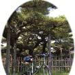 『雲竜の松』 …愛知県安城市永安寺