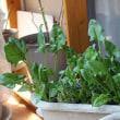 エコ再生野菜の収穫