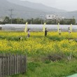 京都亀岡の「菜の花畑」。ただ今満開。100万本の菜の花が一面の畑