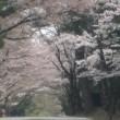 今年は早かった富士桜 満開!