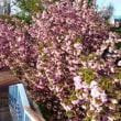 今朝の八重桜