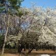 2012年 練馬のお花見 その1 光が丘公園(1)