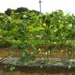 大量収穫の胡瓜を簡単浅漬けにする