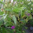 9/18 オシロイバナはいつ咲くの