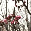 桜のつぼみと小川で子がも