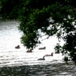 3/18探鳥記録写真(響灘緑地の某池:オシドリの飛翔)