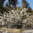 東近江市・ローカル春探しー布引丘陵の桜みちと旧陸軍八日市飛行場掩体壕