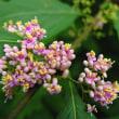ムラサキシキブ 淡紅紫色の小花