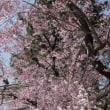 賀茂川 なからぎの道の桜