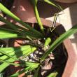シンピジュームの花芽