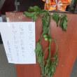 【社会福祉センター田子浦荘】珍現象?ジャガイモの苗に実るトマト