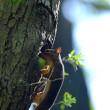樹洞にクルミを運ぶリス