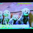 11/20 チータが5匹も生んだ 動物園でなきゃどうするの?