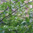 満開のハンカチの木を、裏の高層団地の敷地内で見て、嬉しかったです。