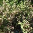 秋冬野菜とイタリア野菜の種【マーシュ】の種まきと栽培