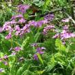 長野県佐久市の東端にある佐久荒船高原では、ニホンサクラソウがよく咲いています