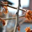 四季桜・33今日も開花2.24