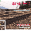 今年もルバーブ畑の作業がはじまりました。