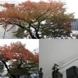 11月12日(月)今日の北川桜