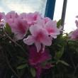 いつのまにか、ツツジが咲いていましたよ!😊