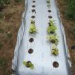 秋冬野菜の種蒔き開始、金時ニンジンの播種と補正。