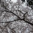 桜西036 大原野で見上げた桜の樹