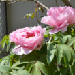 4/18~4/21 牡丹の花が次々に咲きます:2019