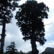 天然の『鬼の目杉』