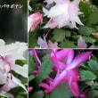 シャコバサボテンの花は