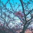 河津桜が見頃です。