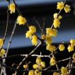 ソシンロウバイ(ロウバイ科・ロウバイ属)落葉低木