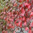 ツタの紅葉が始まった