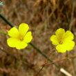 リナム・トリギナム Linum trigynum