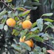 秋雨に濡れる禅寺丸柿