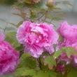 牡丹の花3・・・【いな】