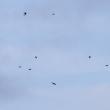 コシアカツバメの群舞