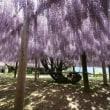 2013年5月河内藤園