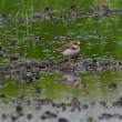 緑を映した田んぼの水に、コチドリがきれいだ。