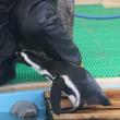 ジャマするケープペンギン