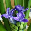 水耕栽培のヒヤシンスが開花してきました。いい香り。